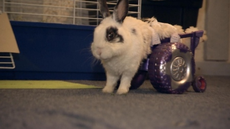 dolly-cage-disabled-rabbit-30-june-2014-1