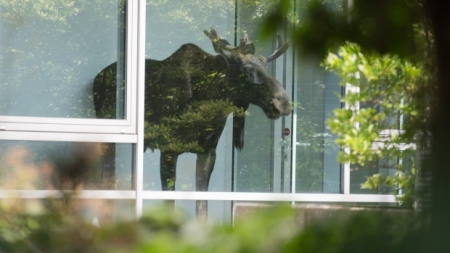 A young moose walked into an office building in Dresden, Germany, Monday and got stuck behind a glass door. (Arno Burgi/Associated Press)