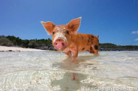 A pig on Exuma Cays, Bahamas.