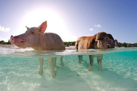 A pair of pigs basks in the Bahaman sun.