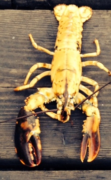 This rare yellow lobster was caught by Joe Bates, who also caught an even rarer albino lobster last week. (The Associated Press)