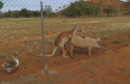 kangaroopiggoose
